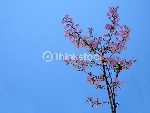 Fond De Ciel Bleu Rose Bougainvilliers Photo Thinkstock