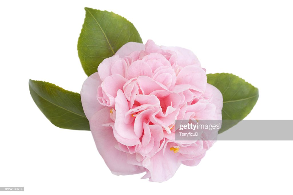 Camellia on White