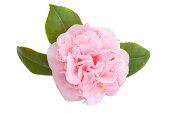 Camellia on White