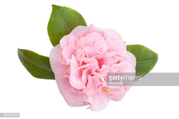 Pink Camellia Flower and Leaves on White