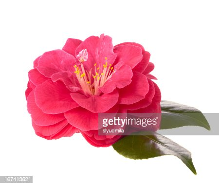 Pink camellia : Stock Photo
