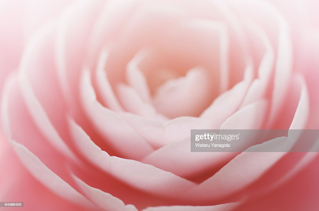 Pink Camellia : Stock Photo