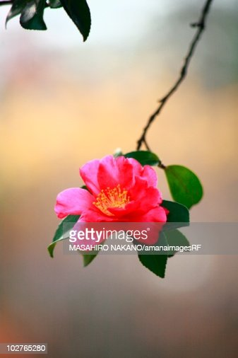 Pink camellia sasanqua flower tokyo prefecture japan stock - Camelia fotos ...