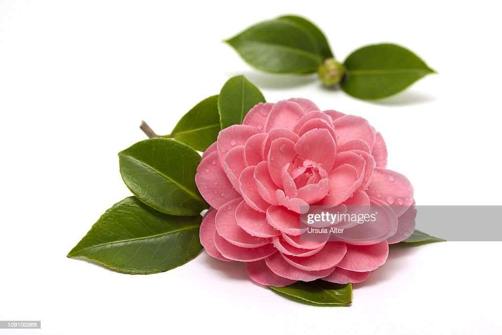 pink camellia with raindrops