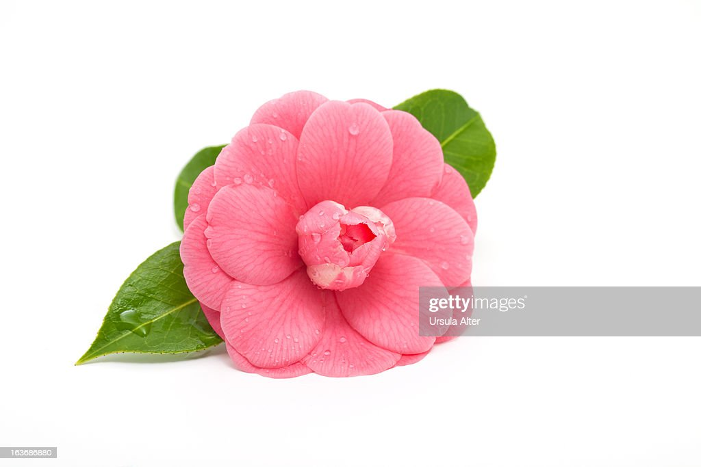 Pink camellia with water drops