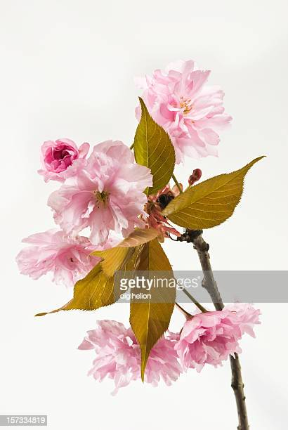 Pink Cherry blossom branch on white