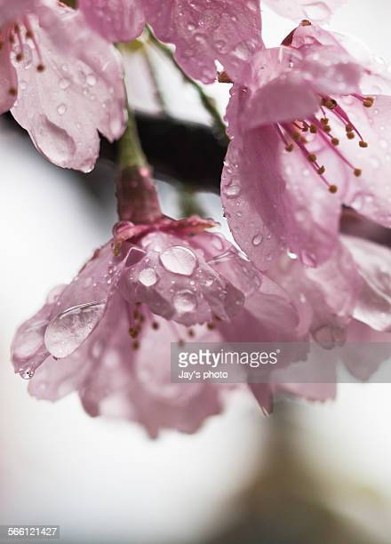 Pink cherry blossom in Kyoto in sprint season