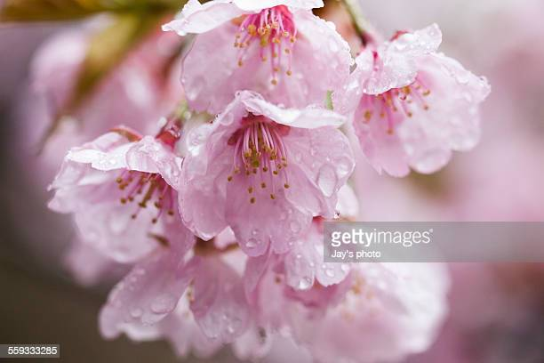 Pink cherry blossom in Kyoto in the rain