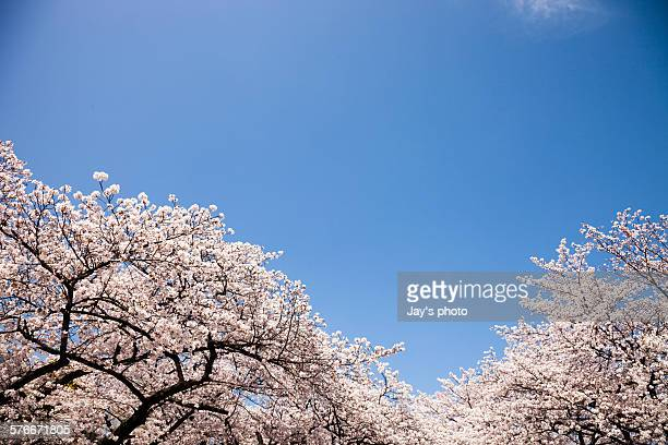 Pink cherry blossom in Osaka in sprint season