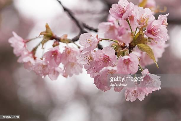 Pink cherry blossom  in spring season