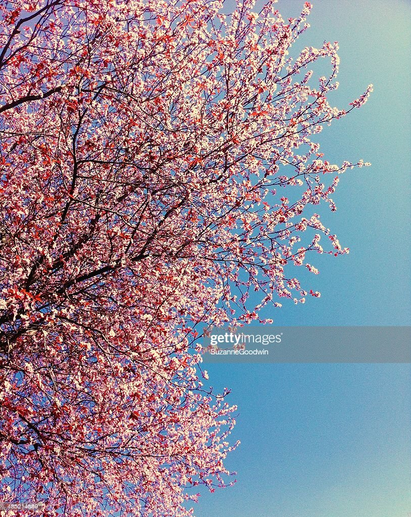 Canada, British Columbia, Vancouver, Pink cherry blossoms and clear blue sky