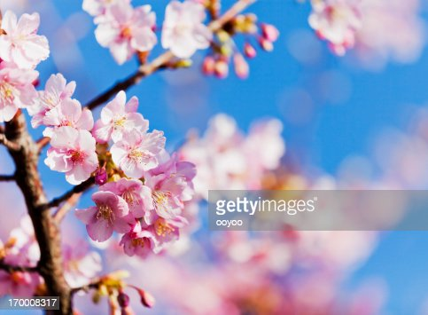 Pink Cherry Blossoms against Clear Blue Sky