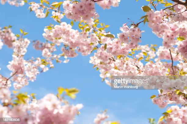Pink cherry blossoms blue sky