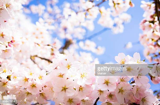 Pink cherry blossoms in full bloom