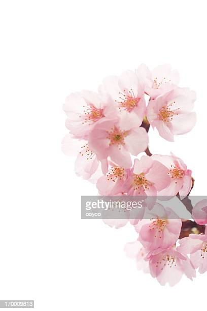 Pink Cherry Blossoms On White
