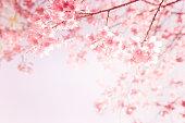 beautiful vintage sakura flower (cherry blossom) in spring. vintage pink color tone