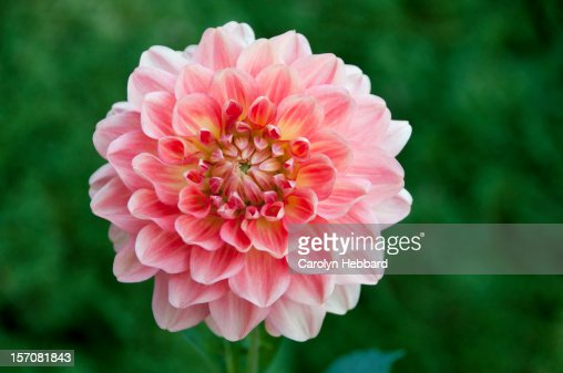 Pink Chrysanthemum Flower : Stock Photo