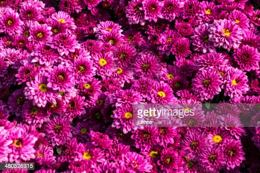 Pink Chrysanthemum flowers : Stock Photo
