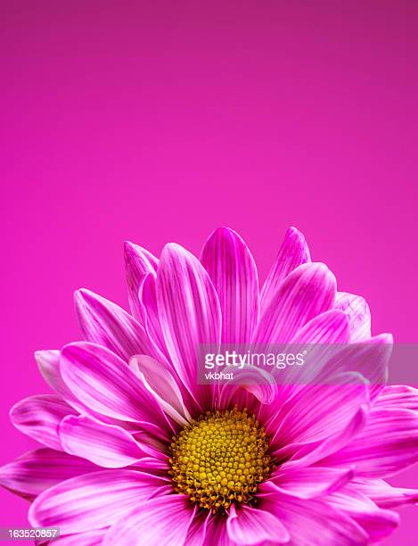 Pink chrysanthemum on a pink background