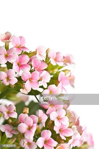 Rose chrysanthème, le printemps fleur de beauté de la nature