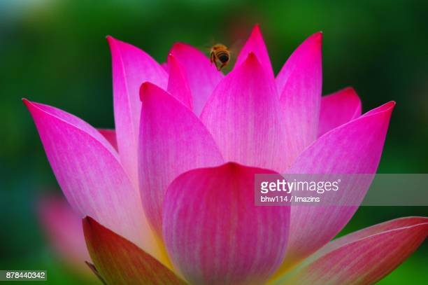 Pink Color  Plant with a bee