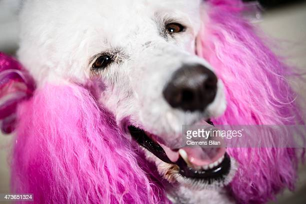 A pink colored poodle named Elly during the 68th annual Cannes Film Festival on May 16 2015 in Cannes France