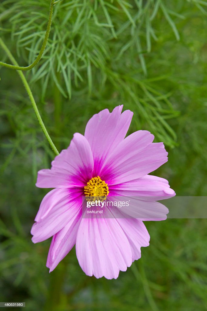 Pink cosmea flower. : Stock Photo