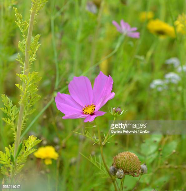 Pink Cosmos Flower Blooming On Field