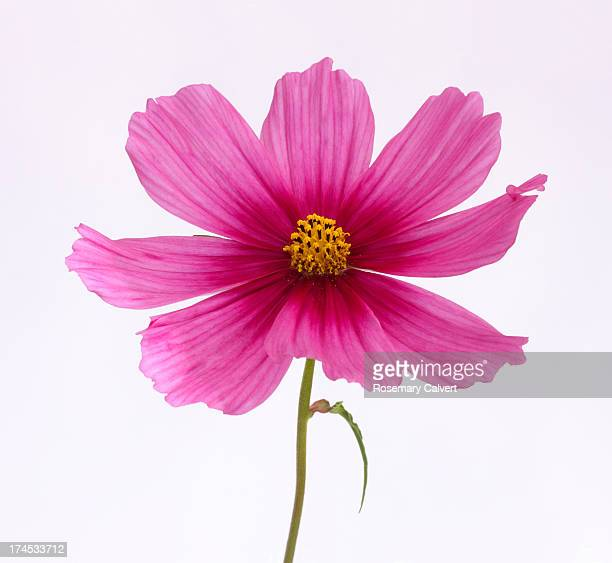 Pink cosmos flower in two tones of pink