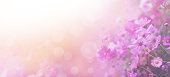 Violet color floral abstract background. Close up pink cosmos flower and white bokeh with copy space. Soft style with vintage filter effect. Banner size.