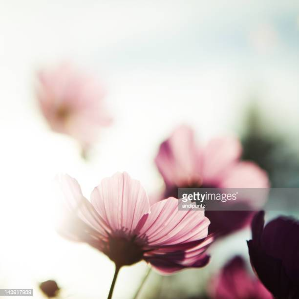 Pink cosmos flowers blooming in summertime