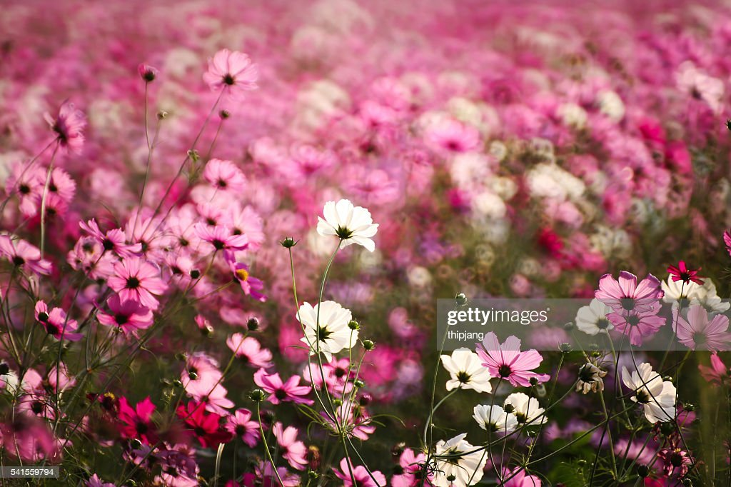 Pink Cosmos Flowers Growing On Field