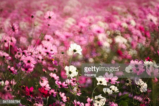 Pink Cosmos Flowers Growing On Field