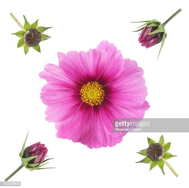 Pink cosmos flowers in different stages of opening