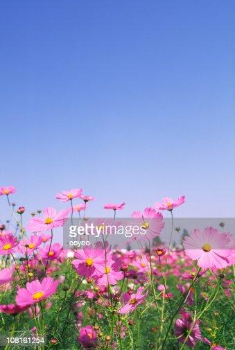Pink Cosmos Flowers in Field Against Blue Sky