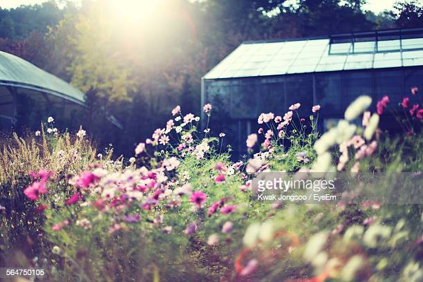 Pink Cosmos Flowers In Field With Greenhouse