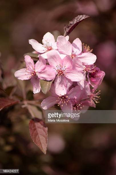 Pink Crabapple Flower Cluster