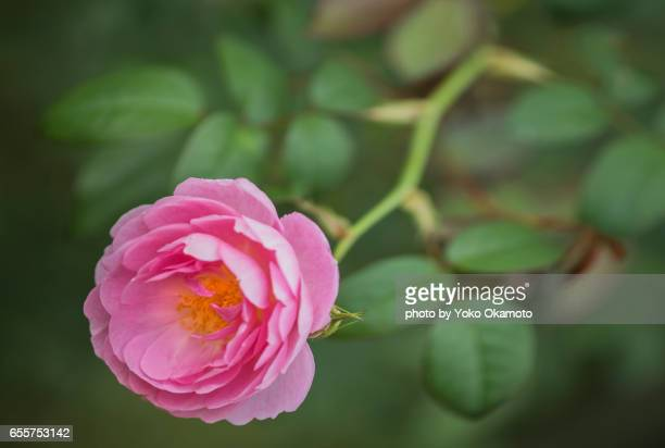 Pink cup-shaped rose flower