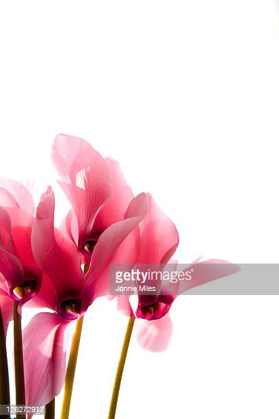 Pink Cyclamen Flowers on a White Ground