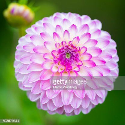 Pink Dahlia and bud macro : Stock Photo
