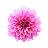Pink Dahlia Isolated with clipping path