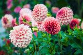 pink dahlias, selective focus, late summer garden, morning light