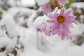 Pink daisy flowers in a winter garden covered with snow in early morning