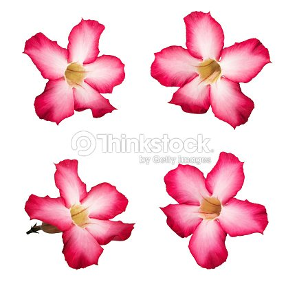 Pink Desert Rose Flowers Isolated On White Background Stock Photo