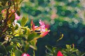 Pink Dipladenia Mandevilla flower in the sunlight