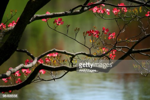 Pink Dogwood Blossoms : Stock Photo