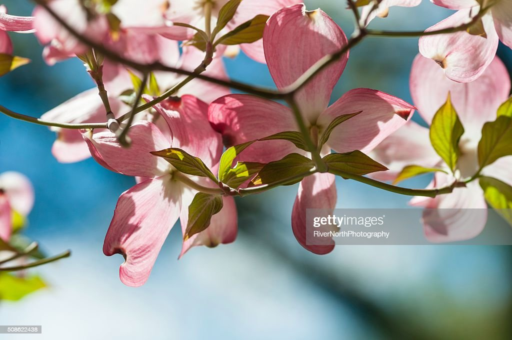 Pink Dogwood Flowers in Spring : Stock Photo