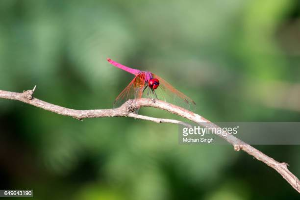 Pink dragonfly with blurred background at Asola Bhatti Wildlife Sanctuary