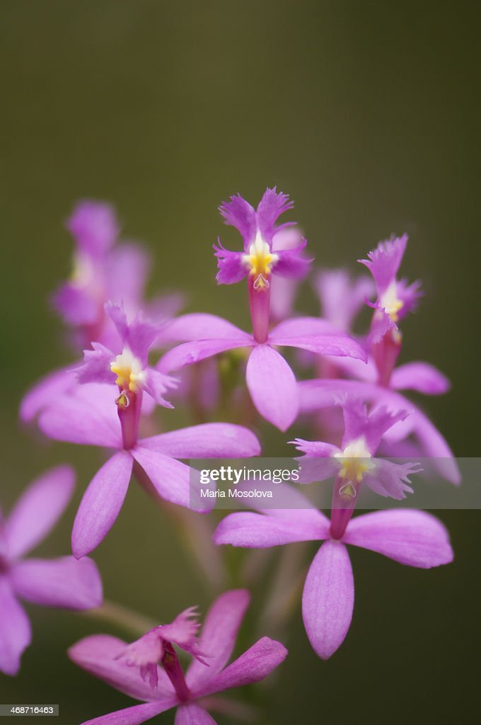 Pink Epidendrum Orchid : Stock Photo