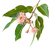 Pink eucalyptus flowers with buds and leaves, isolated on white background.